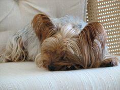 Yorkie - Annie asleep on chair