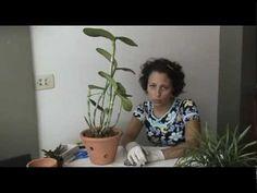 Como Cuidar de Orquídeas - Excesso de raízes - YouTube