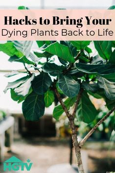 How to Save Your Dying Houseplant Just because your beloved plants look to be wilted, doesn't mean you can't revive them back to life. Here are 20 hacks to help your indoor plants thrive again! Outdoor Plants, Air Plants, Indoor Outdoor, Potted Plants, Fig Bush, Growing Plants, Jasmine Plant, Flower Pot Design, Gardens
