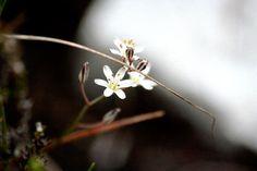 Eriospermum dielsianum