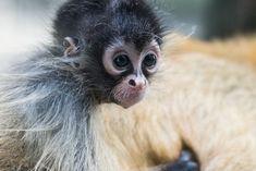 Au Zoo de Bâle, les bébés atèles sont de drôles de petits acrobates