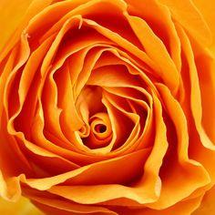 Rózsa a szerelem virága.