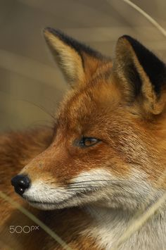 Red Fox by LBLJ on 5