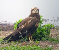 The eastern marsh harrier (Circus spilonotus) is a bird of prey belonging to the marsh harrier group of harriers. It was previously considered to be conspecific with the western marsh harrier (Circus aeruginosus) but is now usually classified as a separate species. It has two subspecies: C. s. spilonotus in eastern Asia and C. s. spilothorax (Papuan harrier, perhaps a separate species) in New Guinea. Eastern marsh harriers are generally migratory apart from the Papuan harrier which is…