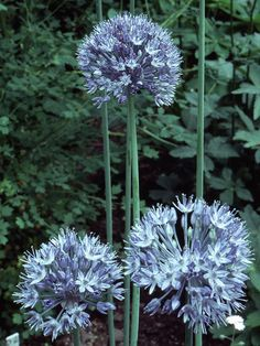 Blue Allium-It's tough to have a favorite allium, but we think this is one of the best. It offers sky-blue blooms in a 2-inch-wide head and helps bridge the gap between spring bulbs and summer perennials.