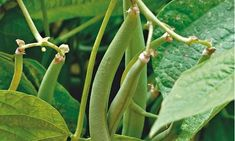Alys Fowler: the lowdown on dwarf beans Veg Garden, Balcony Garden, Garden Plants, Growing Beans, Bean Plant, Runner Beans, Dwarf, Permaculture, Teepees