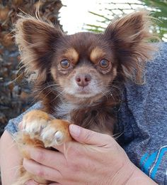 Nevada Society for the Prevention of Cruelty to Animals - Adoptable Dogs Petite gentleman, chocolate & cream Longhair Chihuahua, neutered, 5 years. Sterling is an affectionate, hopeful boy. He is good with other dogs. He is housetrained.