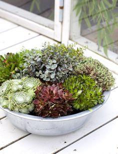 Torktålig plantering. Suckulenter planterade i kruka. Vackert och lättskött! http://www.blomsterlandet.se/Tips-och-artiklar/Tips-och-artiklar/Inne/Krukvaxter/Gronvaxter/Suckulenter-taliga-tuffingar/?query=suckulent&category=Tips-och-artiklar-general
