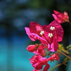 fuschia #flowers