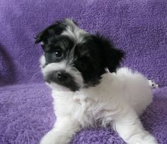 Havanese Puppies For Sale, Doggies, Cute, Animals, Little Puppies, Animales, Animaux, Pet Dogs, Kawaii