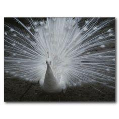 A white, or albino, peacock, Racine, Wisconsin Postcard