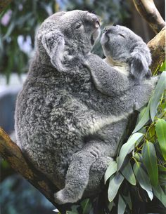 koalas Enjoy each other's hug....?