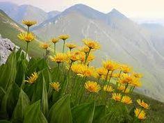 Arnica montana - homeopathy