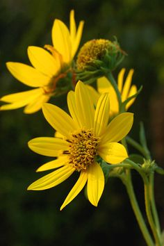 Whorled Sunflower (Helianthus verticillatus) Status: Endangered Wherever Found The Whorled The most interesting thing about this wild sunflower is that it was thought to be extinct for about 100 ye...