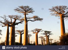 Download this stock image: The Alley of the Baobabs, a group of baobab trees lining the road between Morondava and Belon'i Tsiribihina, Madagascar - D2R12P from Alamy's library of millions of high resolution stock photos, illustrations and vectors.