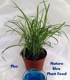 """Lemon Grass Plant - Must Have Herb! - Cymbopogon - 4"""" Pot: Patio, Lawn & Garden"""