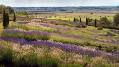 The view over the Vale of York from the Yorkshire Lavender Farm near Terrington, North Yorkshire