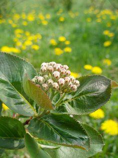 Krzyżak zielony – Nalistnik (Araniella cucurbitina)