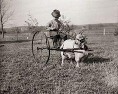 Dr.Edward A.Bass, Boy Driving a Goat Cart, ca 1900