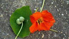 De zaadjes : Pluk vlak na de bloei de ronde groene zaden van de Oostindische kers. Die zien er zo uit als de balletjes op de foto, links op het blad. De rijpe bruine zaden zijn niet geschikt. Leg de zaden eersteen nacht in een kom water met veel zout. Leg iets zwaars op de zaden, bijvoorbeeld een bord, om ze onder water te houden. Maak de zaden de volgende dag...  Lees meer »