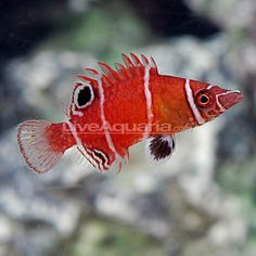 """Tanaka's Pygmy Wrasse (Wetmorella tanakai)  $49.99  Minimum Tank Size: 10 gallons  Care Level: Easy  Temperament: Peaceful  Reef Compatible: Yes  Water Conditions: 72-78° F, dKH 8-12, pH 8.1-8.4, sg 1.020-1.025  Max. Size: 2½""""  Color Form: Black, Red, White  Diet: Carnivore  Compatibility: View Chart  Origin: Indonesia  Family: Labridae"""