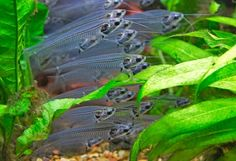 debauwi catfish - Google Search