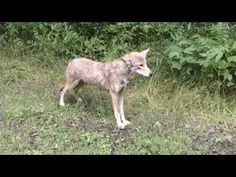 Bicyclists' Chance Encounter with a Bobcat and Coyote