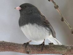 "Junco...I call these ""snowbirds"" because they are here only in the Winter months."