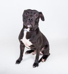 MARLEY - URGENT - Dekalb County Animal Shelter in Decatur, Georgia - ADOPT OR FOSTER - 1 year old Male Pit Bull Mix