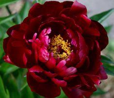 Beautiful Gardens, Beautiful Flowers, Peony Root, Peonies Garden, Botanical Flowers, Garden Photos, Plant Design, Fabric Painting, Garden Plants