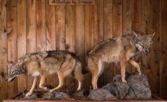 Coyote mount Coyote Mounts, Taxidermy, Kangaroo, Fox, Animals, Baby Bjorn, Animales, Animaux, Animal