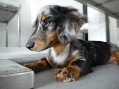 Long Haired Silver Dapple Miniature Dachshund  -such a pretty pup