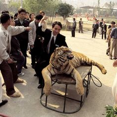 [CRIMINALES] Tigres están siendo drogados para que turistas los golpeen y se saquen fotos haciéndolo   Seamos Mas Animales Como Ellos