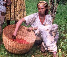 Jovem agricultora etíope trabalhando na colheita do café.