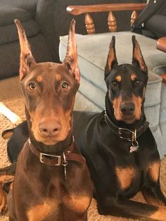The Doberman Pinscher is among the most popular breed of dogs in the world. Known for its intelligence and loyalty, the Pinscher is both a police- favorite Cute Puppies, Dogs And Puppies, Cute Dogs, Doggies, Funny Dogs, Chien Dobermann, Pinscher Doberman, Baby Animals, Cute Animals