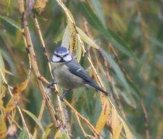 Blue tit singing tit willow