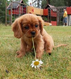 Adorable Fluffy Cavalier King Charles Spaniel Puppy with a Daisy in its mouth: