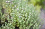 http://gardening.about.com/od/herbsatoz/a/Bay_Laurel.htm - Tips on how to grow a Bay Laurel tree ( bay leaf - the herb) - though the picture is of Thyme