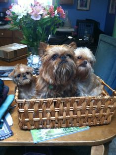 Maeby with her biological dad (center) and mom  NYC brussels griffon.  TOO ADORABLE NOT TO REPOST!