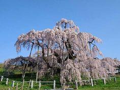三春滝桜(福島県田村郡三春町)東北・夢の桜街道