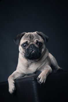 The Pug: You cannot look at a pug and not laugh, so a great choice for the chronically depressed. They snore, and may insist on sleeping in the bed, under the covers ... waaay under the covers.