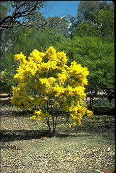acacia boormanii snowy river wattle #tree #shrub #flowers