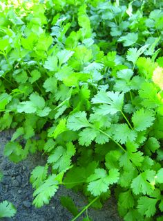 Cilantro is high in antioxidant vitamin C, as well as several vitamins and minerals. It is also a revitalizing herb that aids with digestion and relieves inflammation that may cause gastric upset. Coriander seeds are known to have a positive impact on blood sugar, reducing stress in the liver and pancreas which promote better production of insulin as well as improved digestion.The powerful flavor and aroma of Cilantro makes an excellent seasoning for meats, salsas, and Caribbean dishes.…