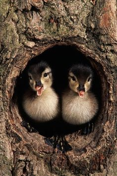 Baby ducks watching from a hole in a tree