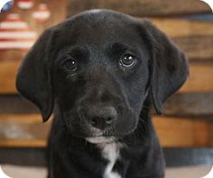 Prosser, WA - Border Collie/Labrador Retriever Mix. Meet Marcie, a puppy for adoption. http://www.adoptapet.com/pet/16738548-prosser-washington-border-collie-mix