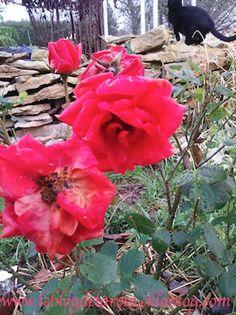 Roses de décembre/ Roses of december - Le blog de Semper Rose