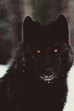 Black wolf with orange eyes. Wolf Photos, Wolf Pictures, Wolf Love, Wolf Spirit, Spirit Animal, Beautiful Wolves, Animals Beautiful, Animals And Pets, Cute Animals