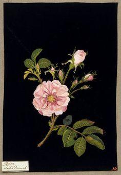 Damask rose. Mary Delany