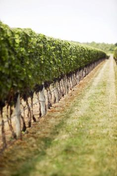 vineyard row of trees #summer #SummerWithRuche