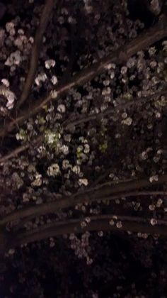 Princeton cherry blossom